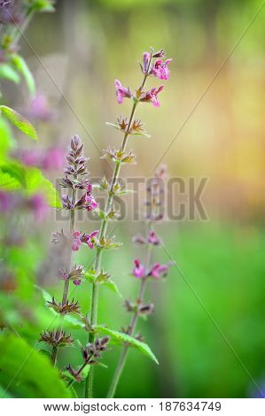 This is Stachys sylvatica from the family Lamiaceae poster