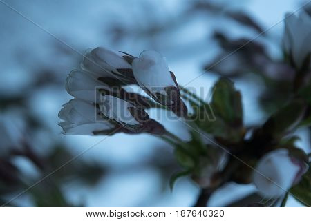 Buds of a dwarf cherry close-up on a blurred gentle background in the fog