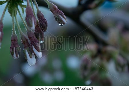 Buds of a dwarf cherry close-up with droplets of rain on a blurred gentle background in the fog