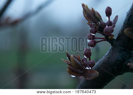 Small buds and leaves of a dwarf cherry close-up with droplets of rain on a blurred gentle background in the fog awakening of nature