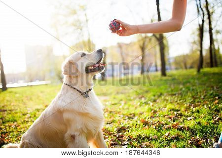 Woman gives ball labrador dog on spring lawn