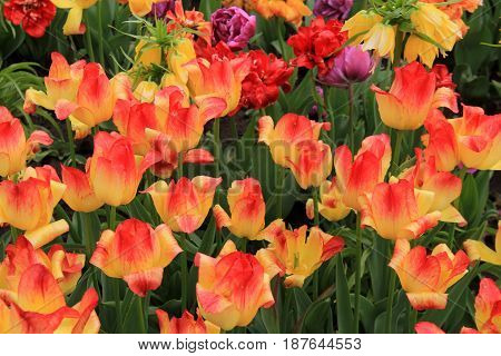 Horizontal image of bright yellow and orange tulips, petals fully opened to the  springtime sun.