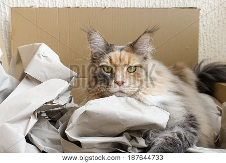 Blue tortie tabby with white Maine Coon cat with extremely long lynx tips on her large ears is laying in her most loved cat bed a cardboard box filled with packaging paper looking straight at you.