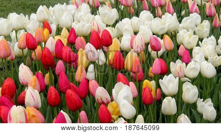 Horizontal image of bright and colorful tulips in beautifully landscaped garden.