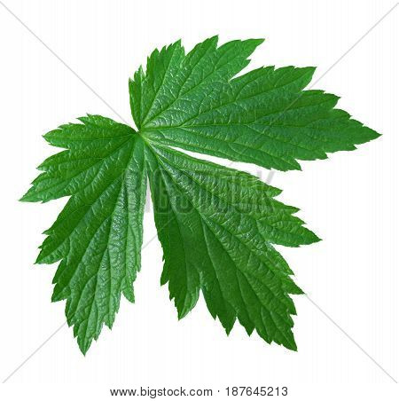 Green leaf isolated on white with clipping path