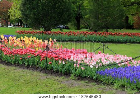 Beautiful landscaped garden with several beds of colorful tulips, kept neatly within black chain link, mowed lawns surrounding all.