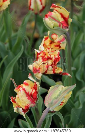 Interesting landscape of pretty yellow and red Parrot Tulips in lush, landscaped garden.