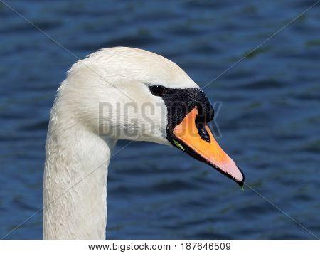 Mute Swan portrait on blue background - Cygnus olor