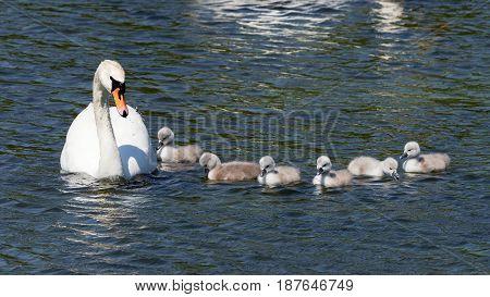 Mute Swan with cute kids - Cygnus olor