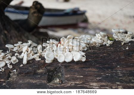 stack white mushroom rise up on moist trunk tree. have sand beach blurred are background. this image for nature and food background