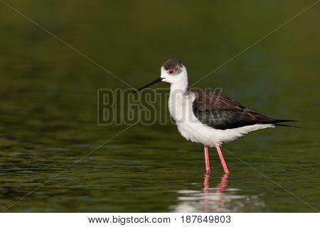 portrait of common stilt (Himantopus himantopus) standing in green water