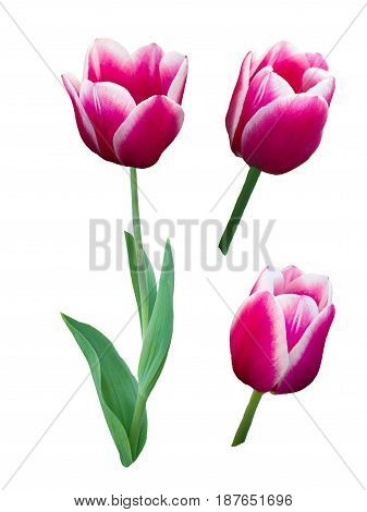Pink tulip with white border isolated on a white background
