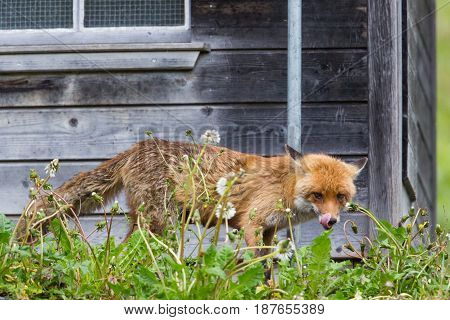 hungry red fox (vulpes vulpes) standing before henhouse showing tongue