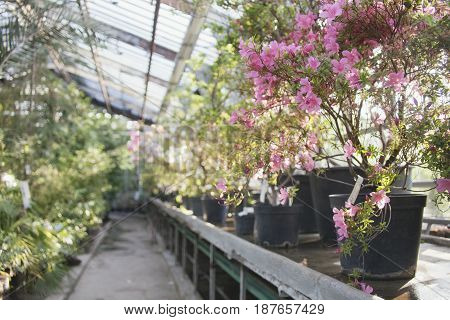 Flowering of rhododendrons in the old stock greenhouse of the Moscow Botanical Garden