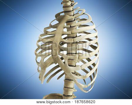 Uman Skeleton Ribs With Vertebral Column Anatomy Anterior View 3D Render On Blue