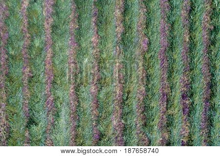 Harvested Lucerne Field From Air