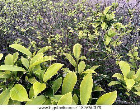 Ecology Concepts Small Ficus Microcarpa or Chinese Banyan Malayan Banyan Taiwan Banyan Indian Laurel Curtain Fig or Gajumaru for Garden Decoration.