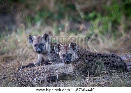 Two Young Spotted Hyenas Laying Down.