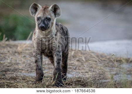Young Spotted Hyena Starring At The Camera.