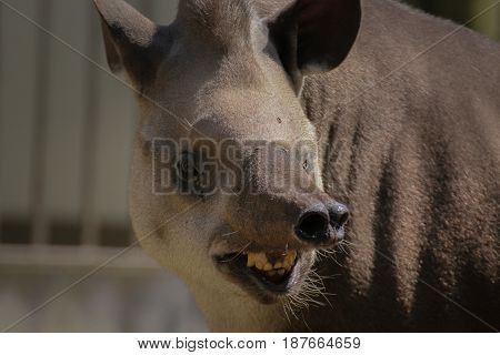 Smilling tapir - look at the camera. Funny animal Tapirus terrestris