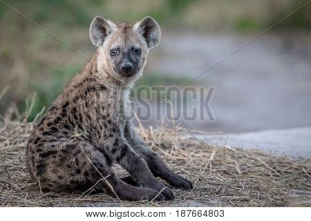 Young Spotted Hyena Sitting Down.