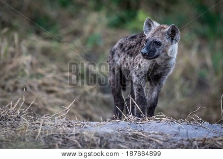 Young Spotted Hyena Starring.
