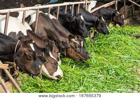 Cows On Farm Eating Grass.