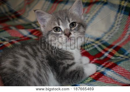 Beautiful gray kitten sitting on a colored rug