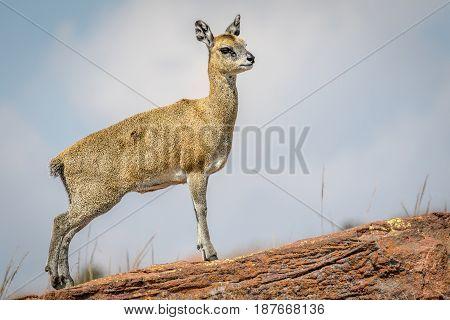 Klipspringer Standing On A Rock And Starring.