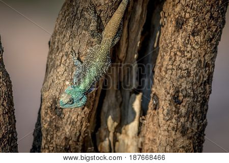 Southern Tree Agama In A Tree.