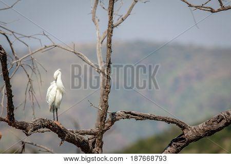 Little Egret Sitting In A Tree.