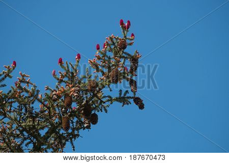 A pine branch bearing both male and female flowers as well as last year's cones as it reaches into a blue sky.