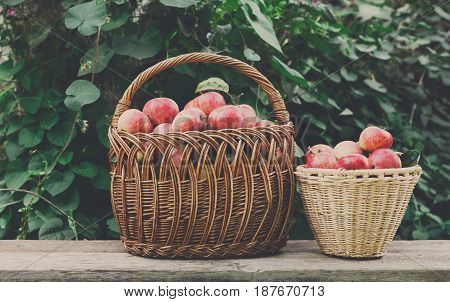 Wicker baskets full of red and yellow ripe autumn apples. Seasonal fruit gathering, fall harvest in apple garden, agriculture and farming concept