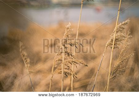 Golden grass texture. Image of dry grass closeup. Texture hay closeup in color. Fodder for livestock. Light passes through the green blades of grass swaying in the wind.