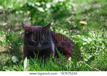 Big fluffy black cat with long whiskers laying outdoor in a green grass.