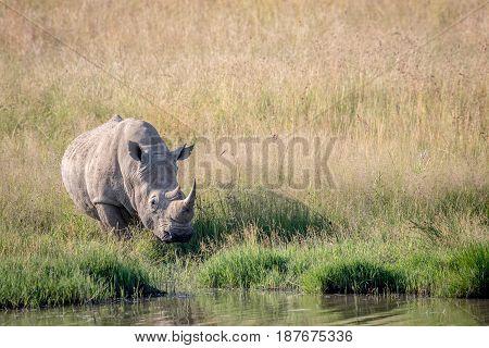 White Rhino Bull Standing By The Water.