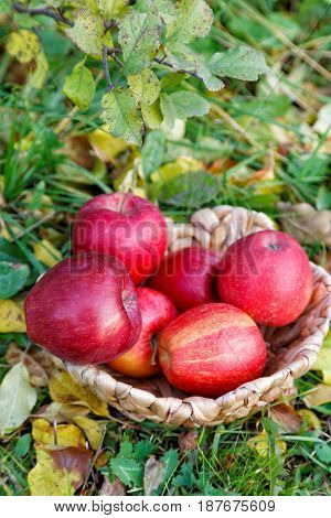 Apples In A Wicker Basket Among Fallen Leaves