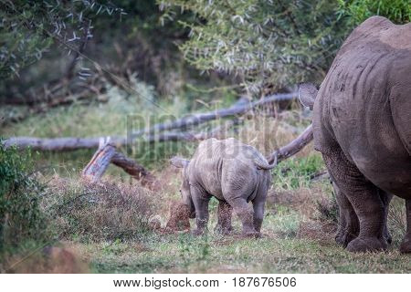 Baby White Rhino And Mother From Behind.