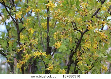 Jostaberry Bush with Yellow Flowers in the spring season