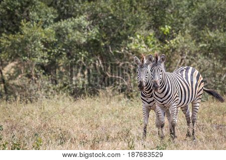 Two Zebras Starring At The Camera.