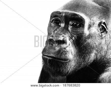 Close-up profile of lowland gorilla, Gorilla gorilla, isolated on white background. Black and white image.