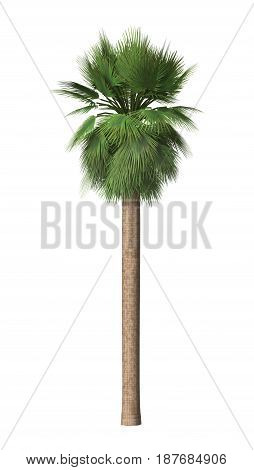 3D digital render of a Mexican fan palm isolated on white background