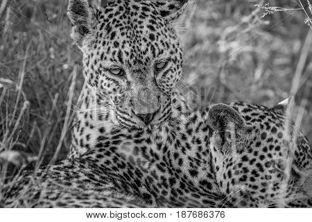 Leopard Grooming Another Leopard.