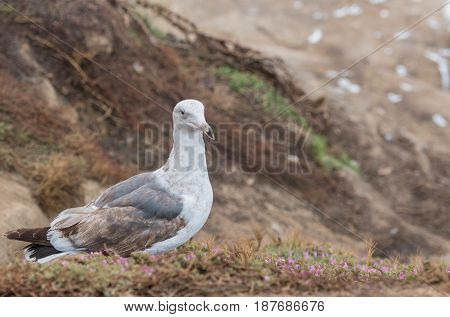 Dirty Old Seagull on Grassy Cliff with small flowers