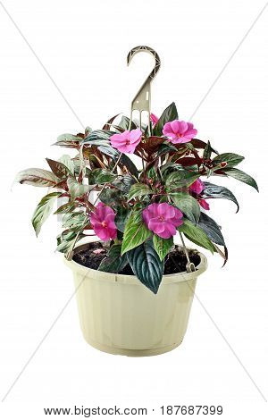 Hanging Basket with New Guinea Impatiens flowers isolated over a white background with clipping path included.
