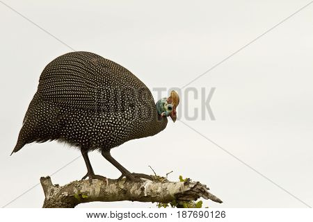 Large Helmeted Guinea fowl standing on a branch of a tree looking for food