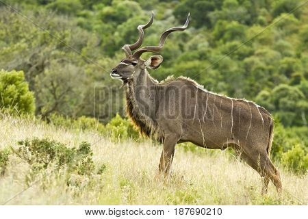 Large Kudu bull standing on a of a hill looking alert