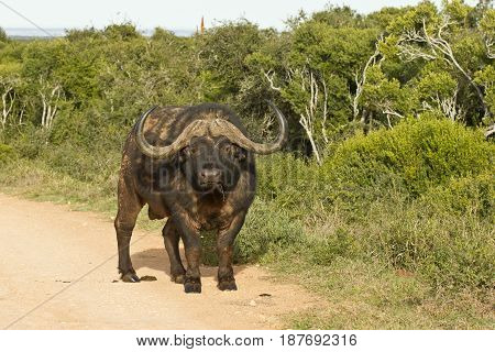 Large aggressive looking male buffalo standing in the road in the morning sunlight