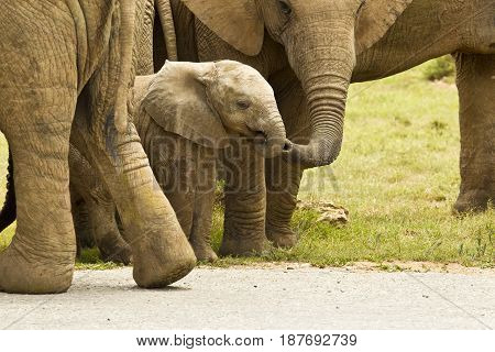 Young elephant elephant being touched by its mother in the wild game reserve