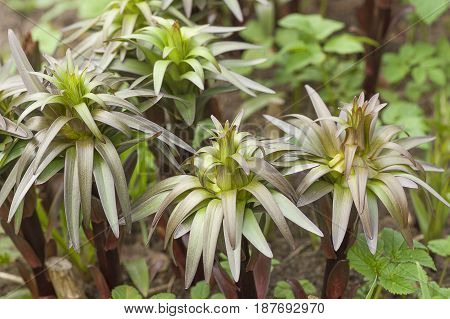 Green buds of garden lilies similar to small palms